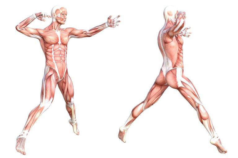 Diagram of a fit male figure, skinless to show the muscles